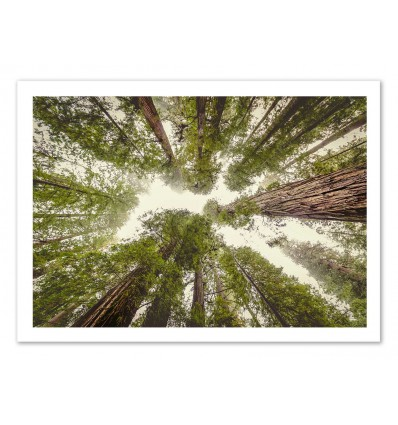 Art-Poster 50 x 70 cm - High trees - Cascadia
